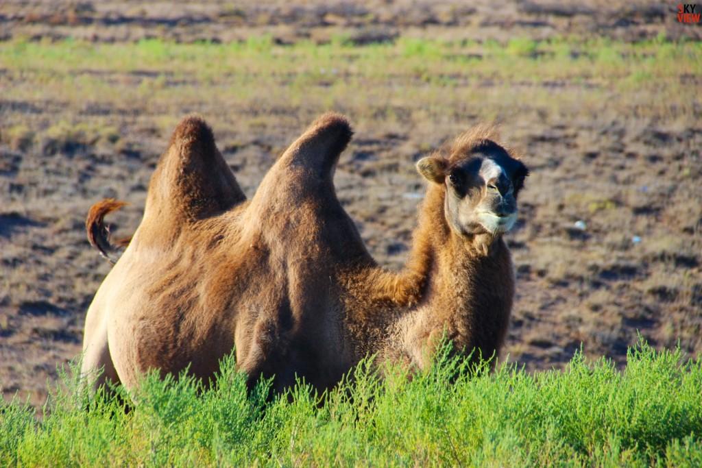 Задумчивый верблюд