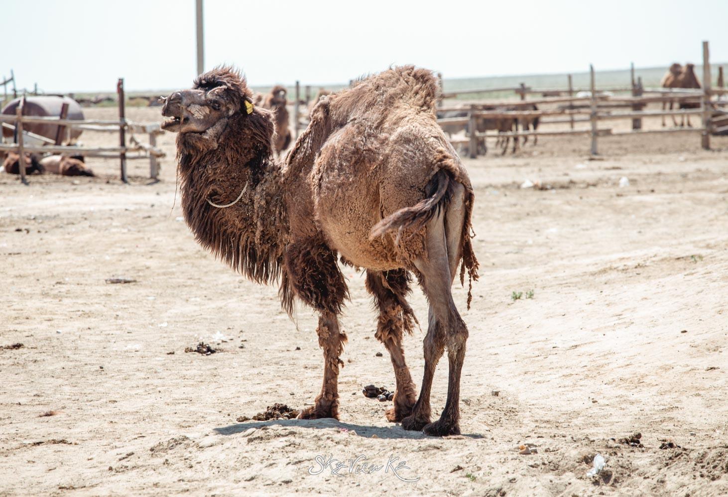 Верблюд аральского моря